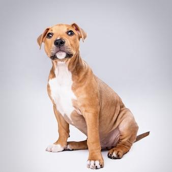 Cute staffordshire terrier puppy
