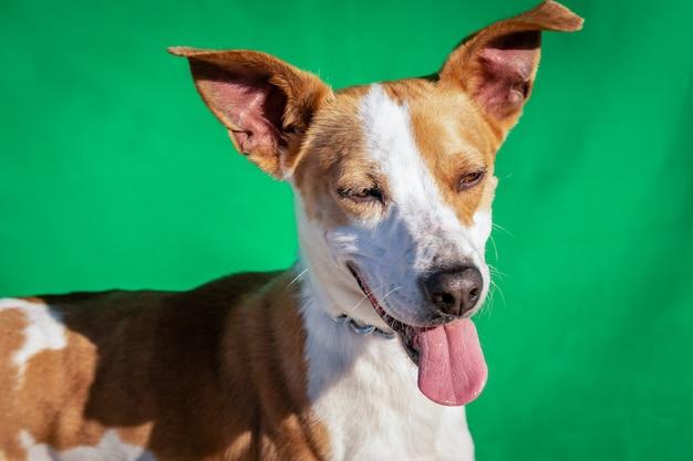 Милая уличная собака с высунутым языком и стоящими ушами