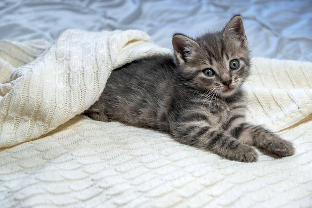 Cute striped british shorthair kitten lying on white blanket