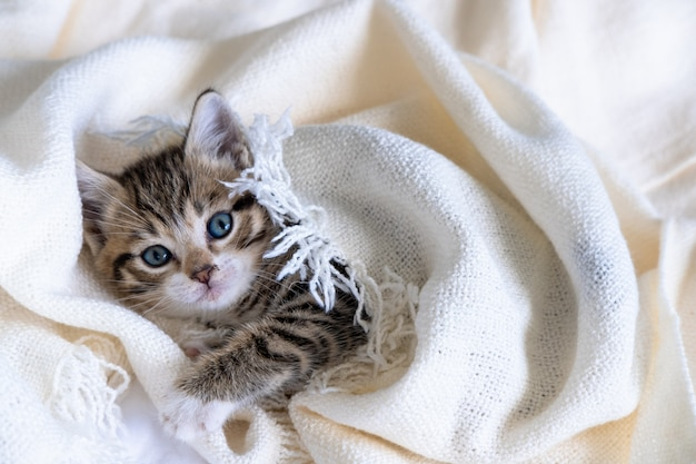Cute striped kitten lying covered white light blanket on bed. looking at camera. concept of adorable pets.