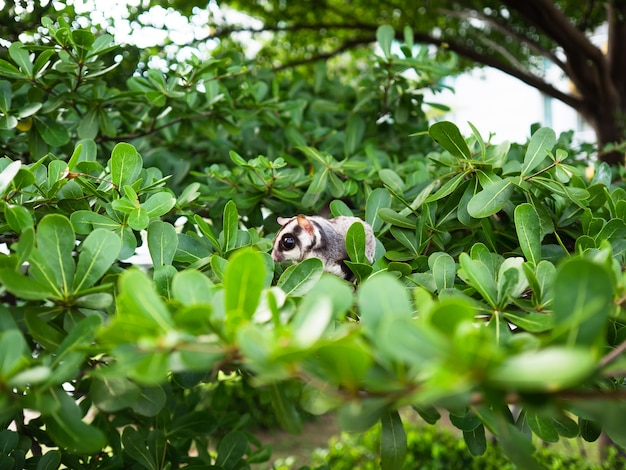 Cute sugar glider is playing on the tree.