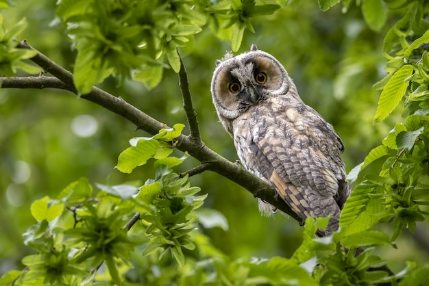 Cute surprised western screech owl perched on a tree branch with green leaves in the forest