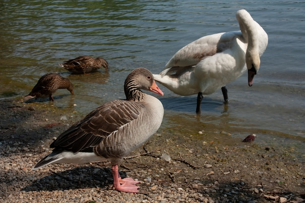 Милый лебедь на реке