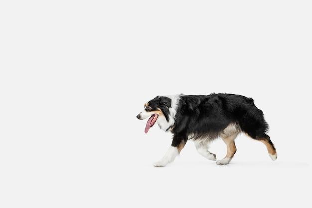 호주 셰퍼드 또는 애완 동물 포즈 흰 벽에 고립의 귀여운 달콤한 강아지.