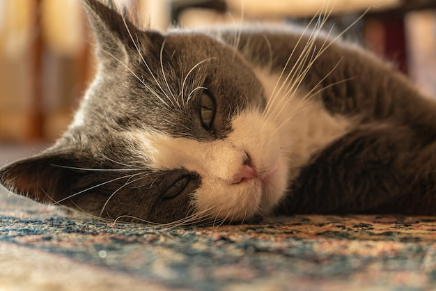 Cute tabby cat lying on carpet at home