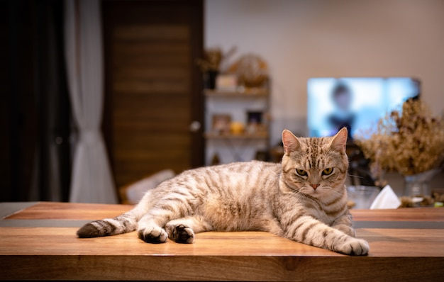 Cute tabby cat lying down on wooden counter in living room in night time