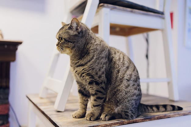 Cute tabby cat sitting on rustic wooden chair relaxing on retro in home.