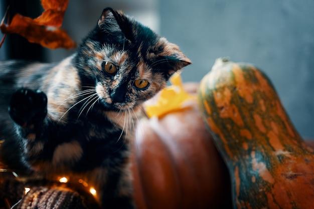 床に熟したカボチャとかわいいトラ猫