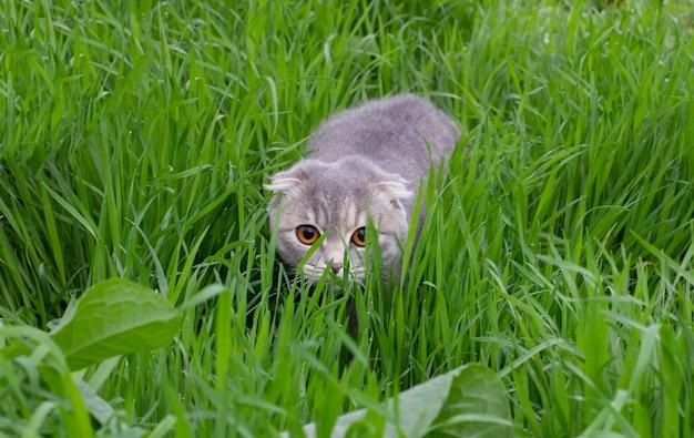 緑の草に隠れているかわいいぶち子猫灰色のスコティッシュフォールド猫
