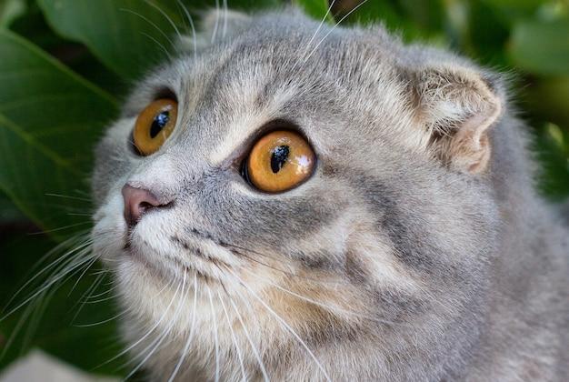 Милый полосатый котенок серая шотландская вислоухая кошка прячется в зеленой траве