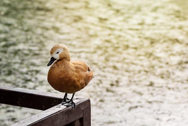 かわいいtadornaferrugineaアヒルは波状の水の背景に公共公園の池の木製のレールに座っています