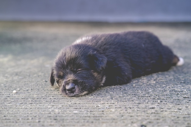 Cute  thai puppy lying and playing on the ground