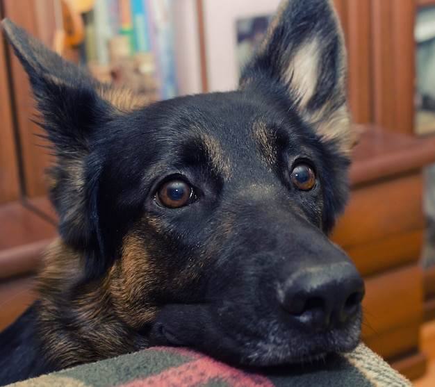 Cute thoughtful german shepherd with its head on the sofa