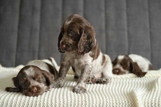 귀여운 러시아 스패니얼 초콜릿 멀 강아지 3마리가 거짓말을 하고 잠을 자고 흰색 격자 무늬 소파에 앉아 있습니다. 애완 동물 관리 및 친절한 개념. 형제 자매.