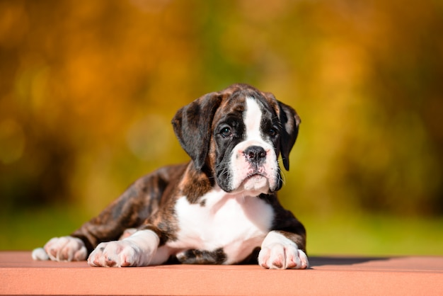 Cute tiger puppy breed boxer in autumn park.
