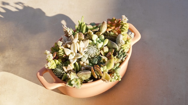Cute tiny succulent plants on pink pot close up strong shade
