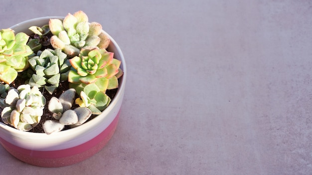 Cute tiny succulent plants in pink round pot close up copy space