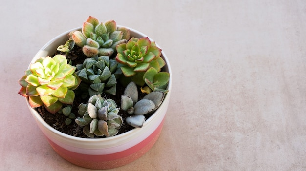 Cute tiny succulent plants in pink round pot close up