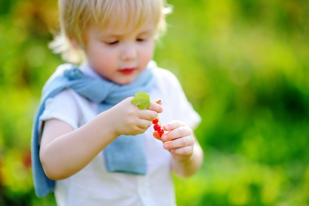 Cute toddler boy picking red currants in domestic garden