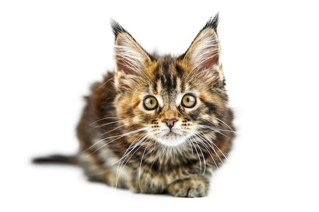かわいいべっ甲メインクーン子猫