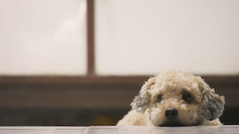 Cute toy poodle dog lying on floor at home.