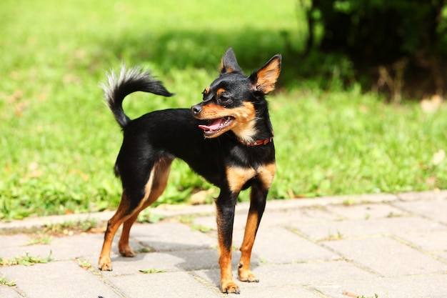Cute toy terrier in the park