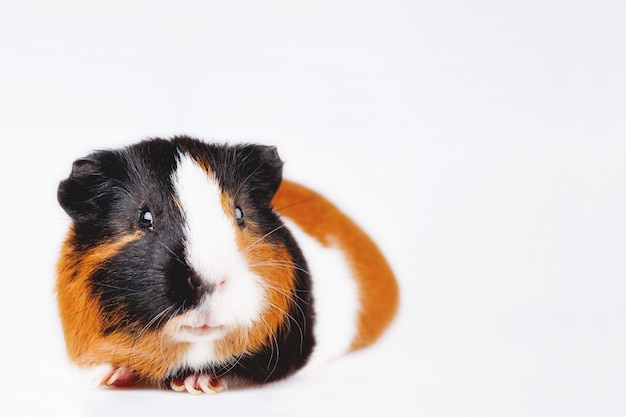 Cute tricolor guinea pig with curious expression