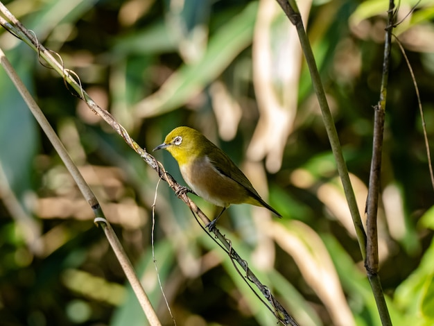 Cute warbling white-eye resting on the twig in izumi forest in yamato
