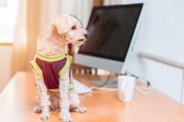 Симпатичные носить одежду пуделя собака сидит за компьютером офисный стол