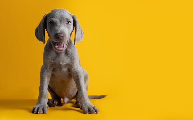 Cute weimaraner puppy isolated on a yellow background