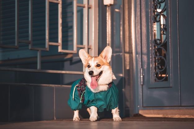 Милая собака вельш-корги сидит на ступеньках в городе. собака в городе. собака в городском пейзаже