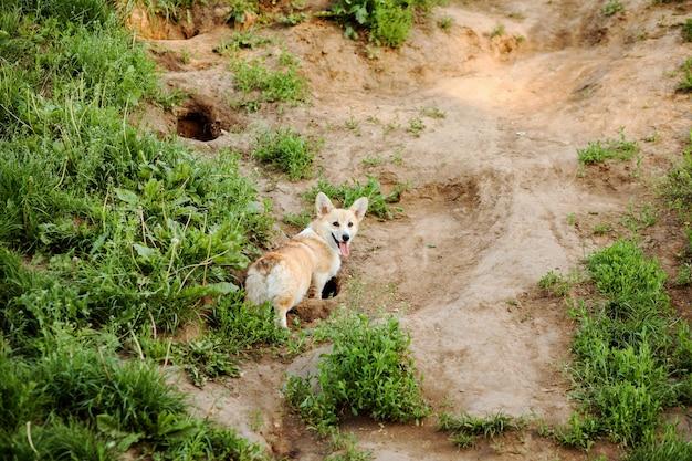 귀여운 웨일스 어 corgi pembroke 개가 시골의 토양에 구멍을 파고 재미있게 놀고 있습니다. 개는 사냥입니다.