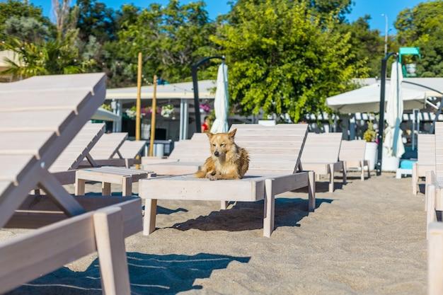 ビーチのサンラウンジャーで泳いだ後に休んでいるかわいい濡れた犬