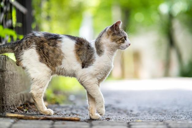 여름 거리에 야외에 서 있는 귀여운 흰색과 회색 고양이.