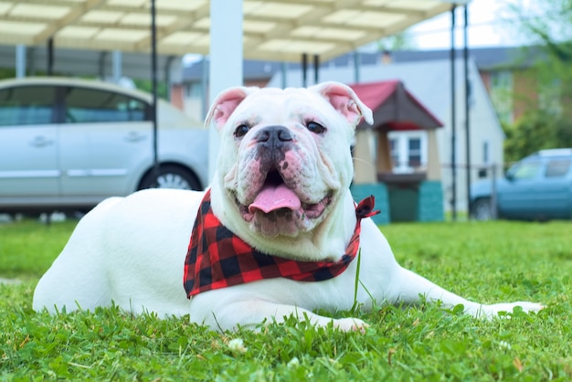 Cute white australian bulldog sitting on the green grass during daytime Free Photo