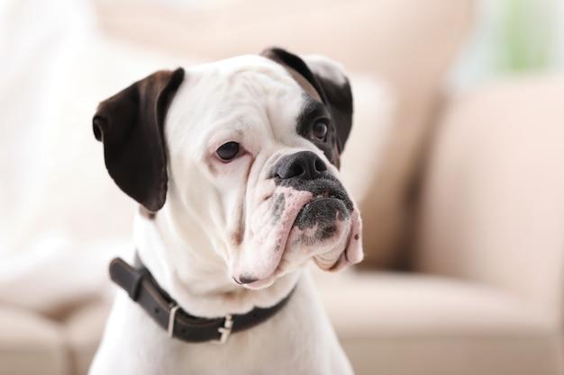 ぼやけた表面にかわいい白いボクサー犬。ペットの養子縁組