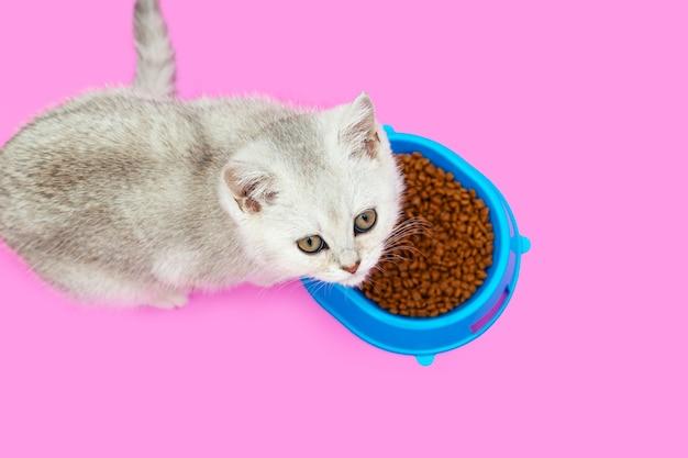 Cute white british kitten eats dry food. blue bowl.
