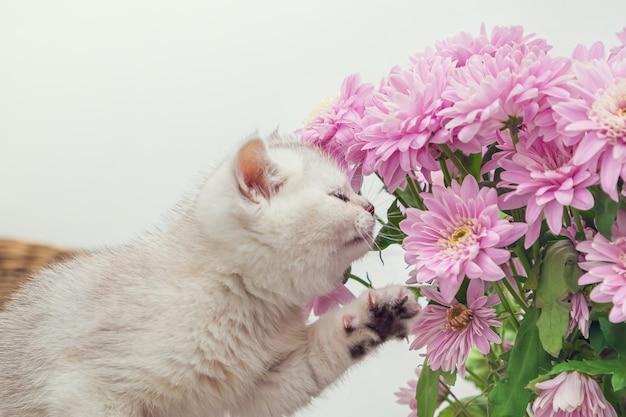 귀여운 흰색 영국 새끼 고양이는 국화 꽃다발을 막습니다. 라이트 테이블, 복사 공간.