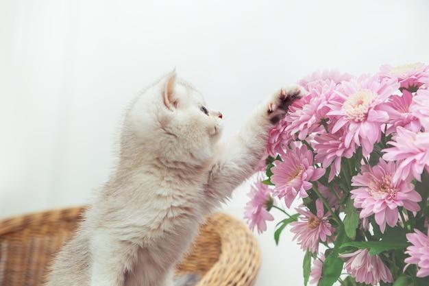 국화 꽃다발과 함께 귀여운 흰색 영국 고양이. 라이트 테이블, 복사 공간.