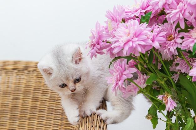 국화 꽃다발과 함께 귀여운 흰색 영국 고양이.