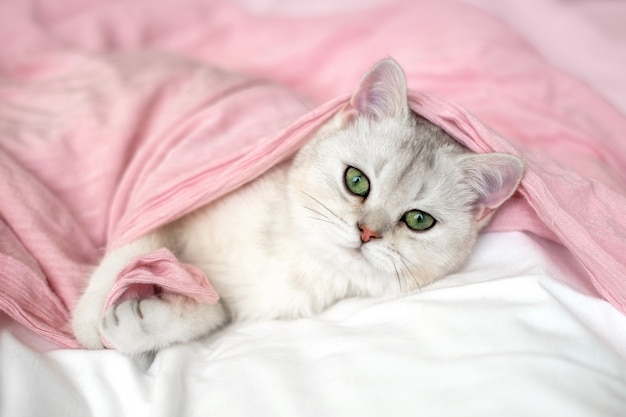 A cute white british kitten with blue eyes lies on its back on a pink textile bed.