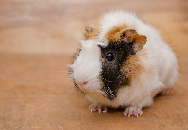 Cute white and brown abyssinian guinea pig.