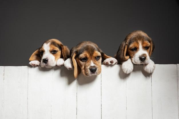 Симпатичные бело-коричнево-черные собачки или домашние животные, играющие на сером фоне. выгляди внимательным и игривым