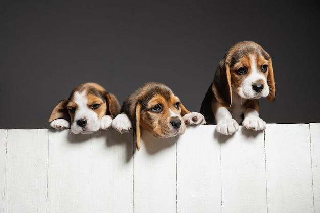 귀여운 흰색-갈색-검은 색 강아지 또는 회색 배경에 재생하는 애완 동물. 주의를 기울이고 장난스러워 보입니다.