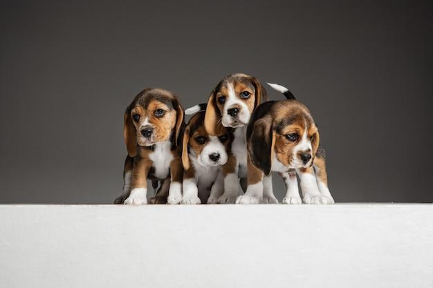 Симпатичные бело-коричнево-черные собачки или домашние животные, играющие на сером фоне.