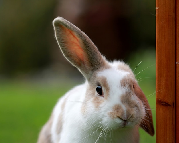 Cute white and brown rabbit with one ear up in a green field