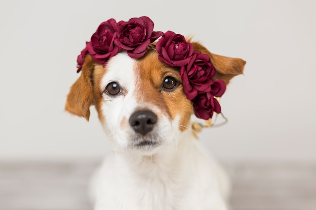 Cute white and brown small dog wearing a red flowers crown