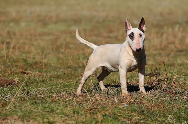 Милая белая собака бультерьера стоя на траве