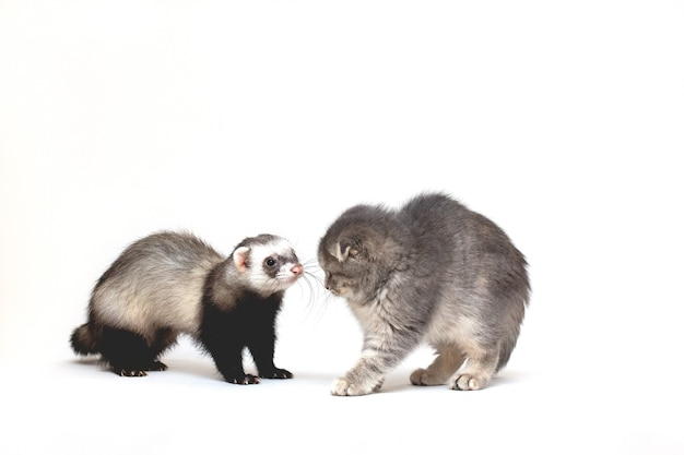 Милый белый кот и хорек позируют вместе