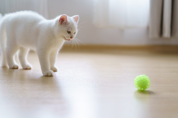 Милый котенок британской короткошерстной белой кошки играет с игрушкой из кошачьих перьев в спальне. домашнее животное. глядя на копировальное пространство. баннер